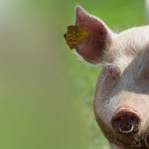 SSD-Homepage-Slide-Pig