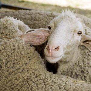 SSD-Homepage-Slide-Sheep1